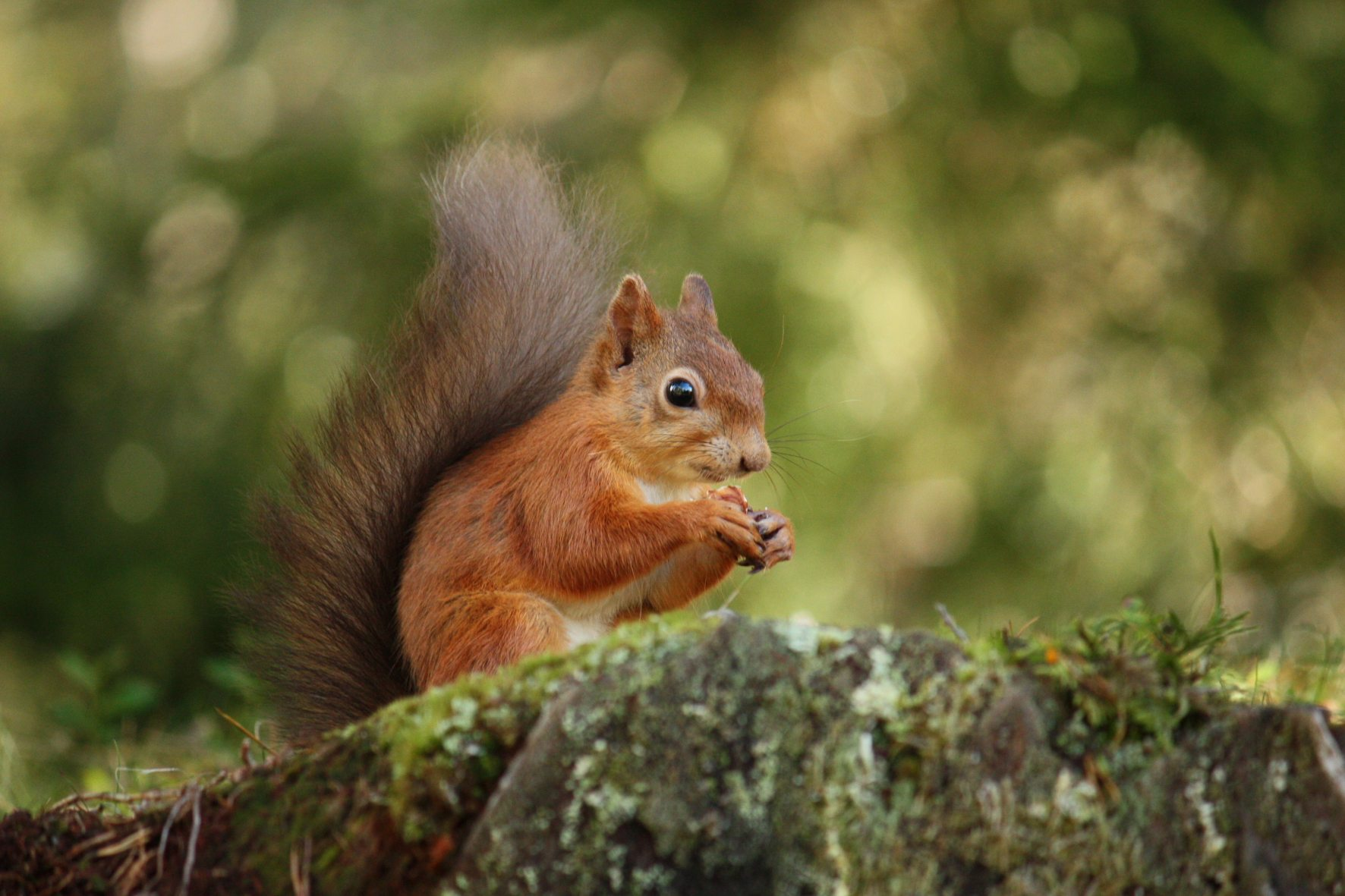 /Red-Squirrel
